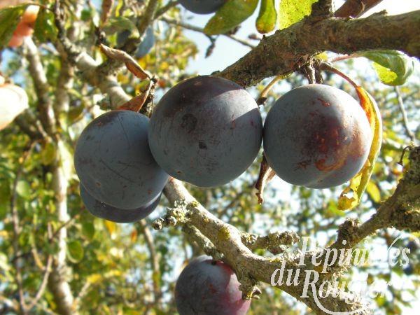 prunier saint michel arbre fruitier vari t classique p pini res du rougier. Black Bedroom Furniture Sets. Home Design Ideas